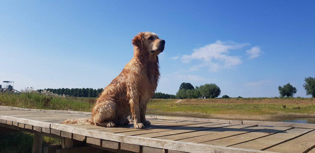 Golden Retriever Jayden is de Mooste Hond van Nederland