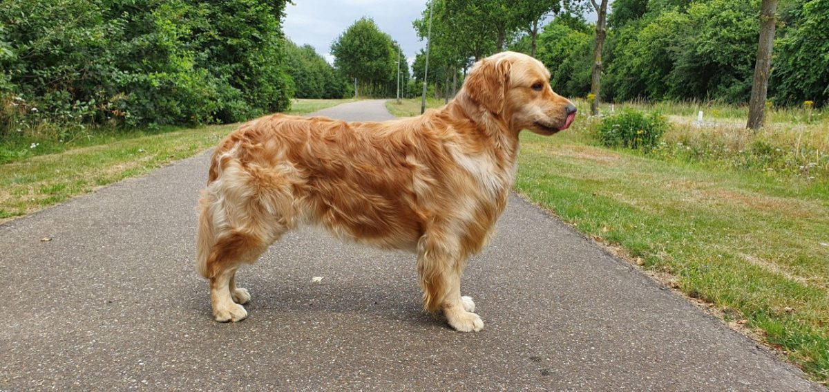 Golden Retriever Jayden