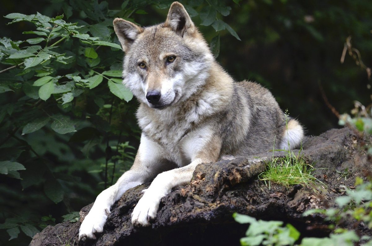 Een wolf in de natuur